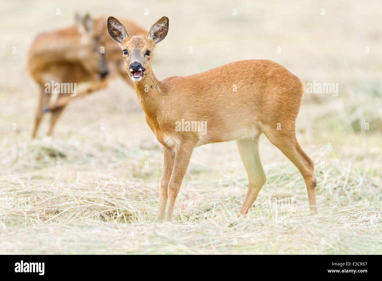 A playful young Roe doe chews a stalk while her companion buck grooms himself in the background, Norfolk, England - Stock Image