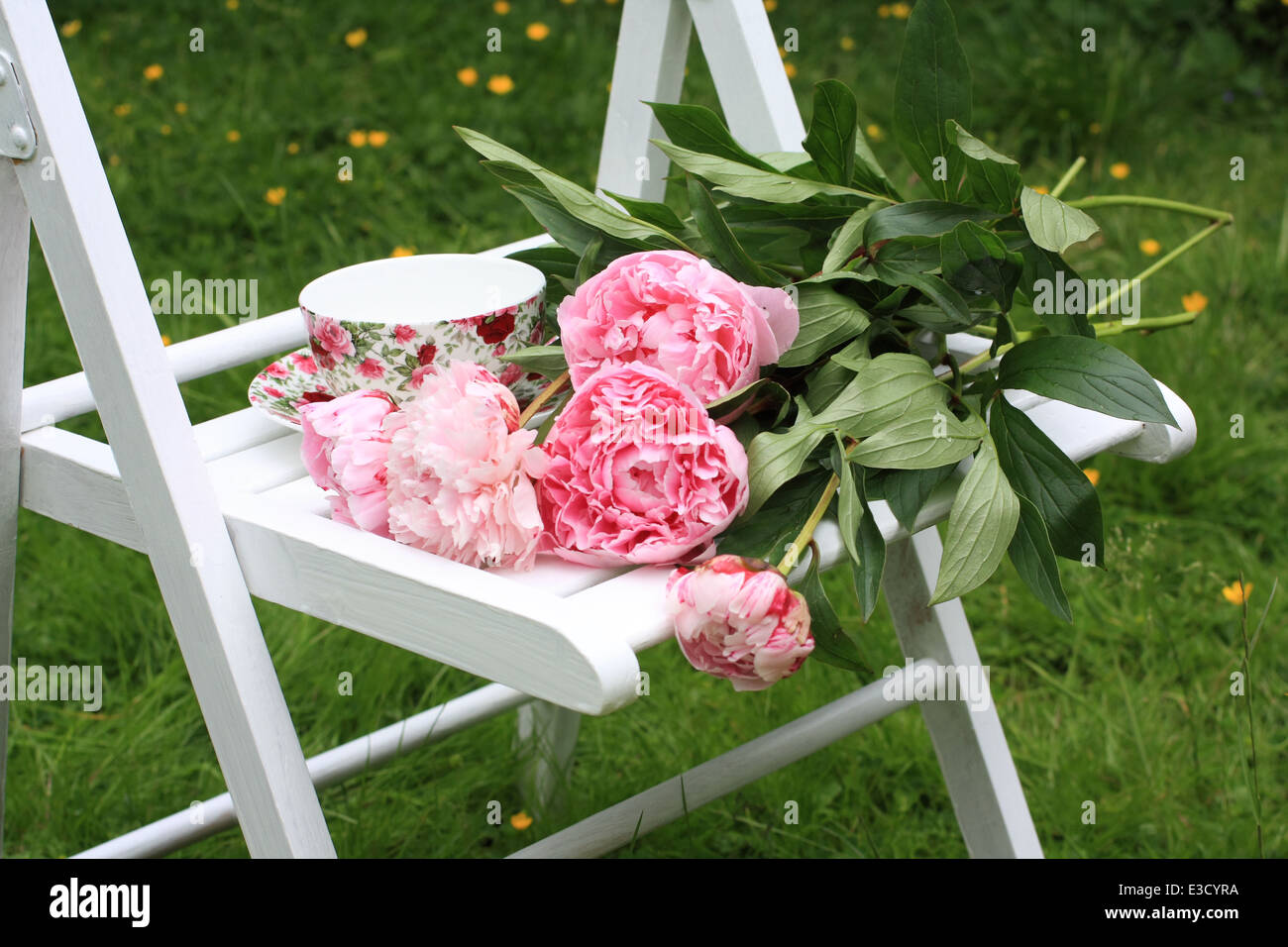 Pink peonies on white wooden chair in the garden - Stock Image
