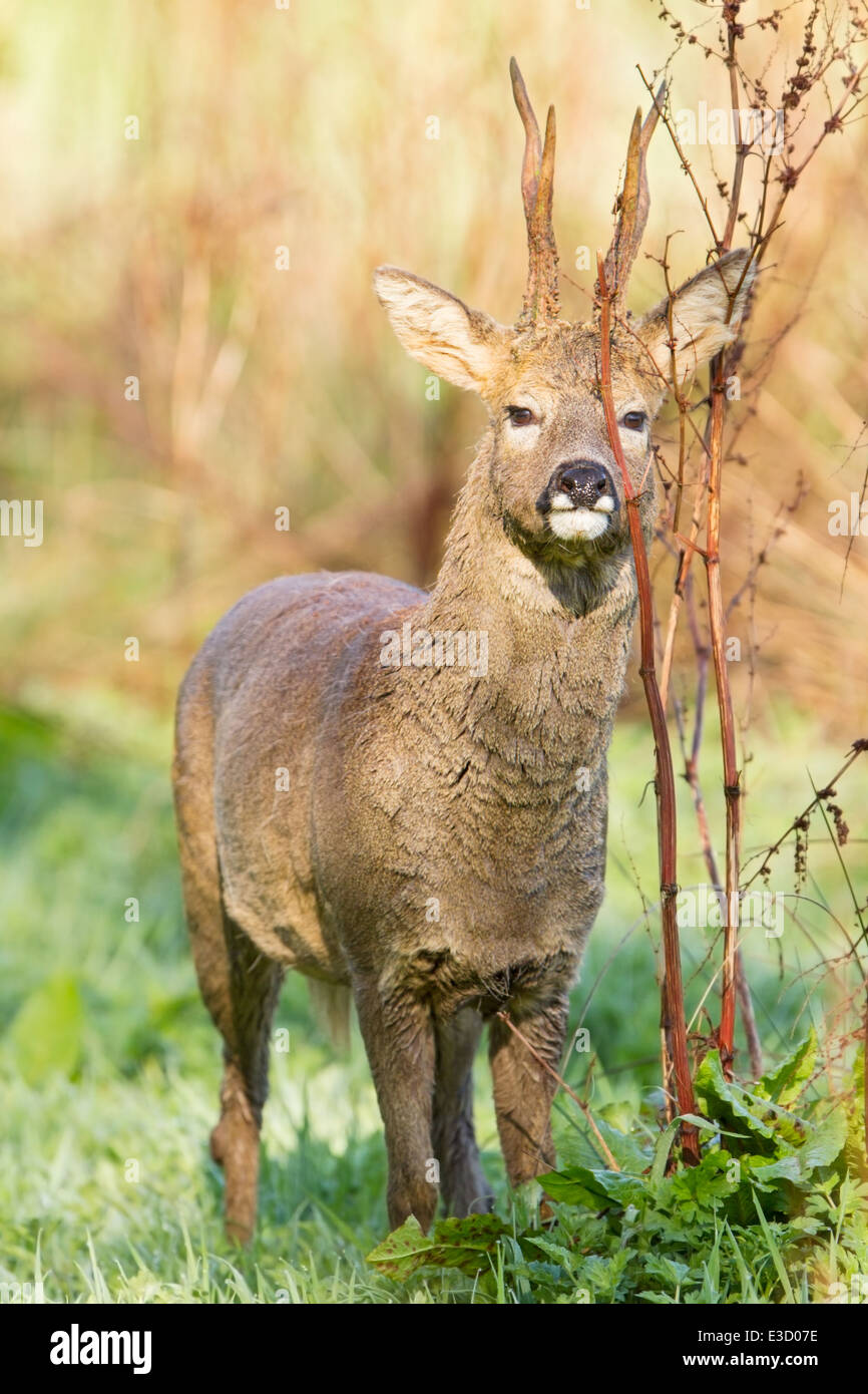 A Roe buck smears scent from a gland below his eye onto vegetation to mark his territory during the spring, Norfolk, - Stock Image