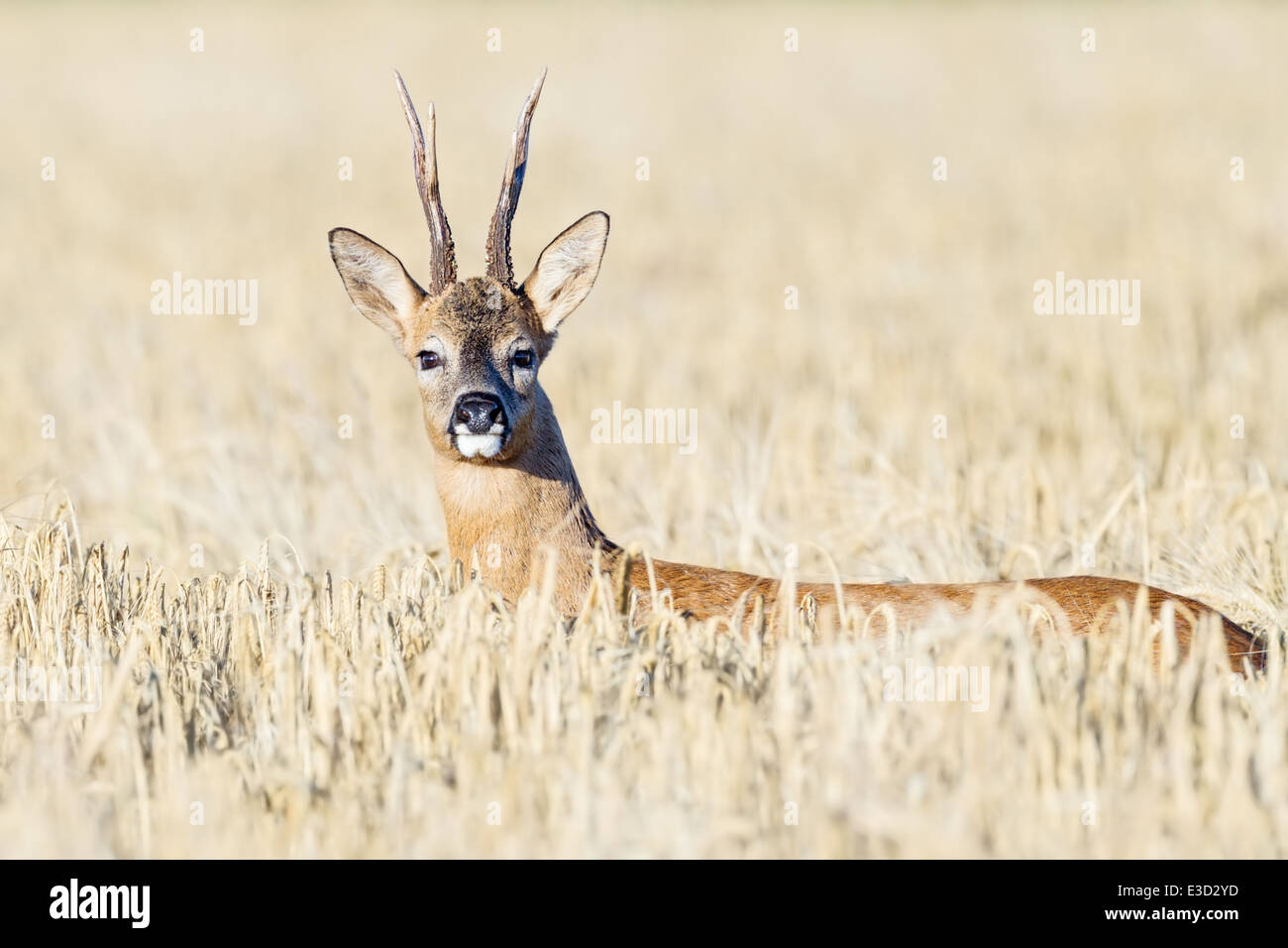 Roe buck alert while following a scent trail of an oestrous female through an arable field during the rut, Norfolk, - Stock Image