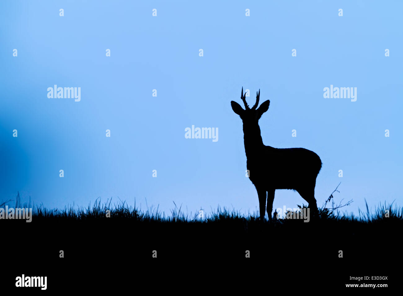 Adult Roe buck patrolling his territory at dusk during the spring, Norfolk, England - Stock Image