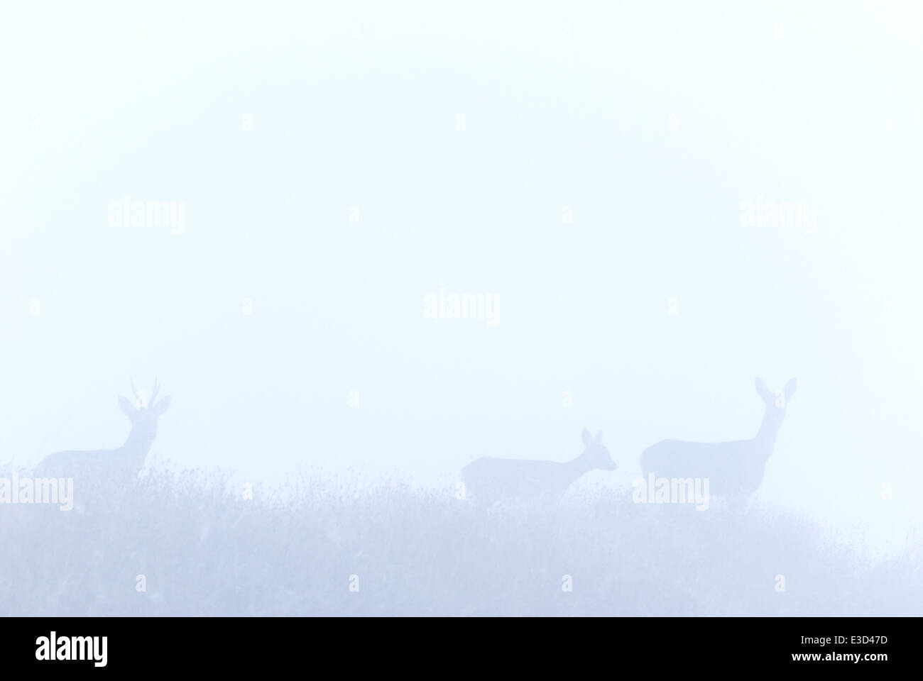A family group of Roe deer emerge from the early morning mist in autumn, Norfolk, England - Stock Image