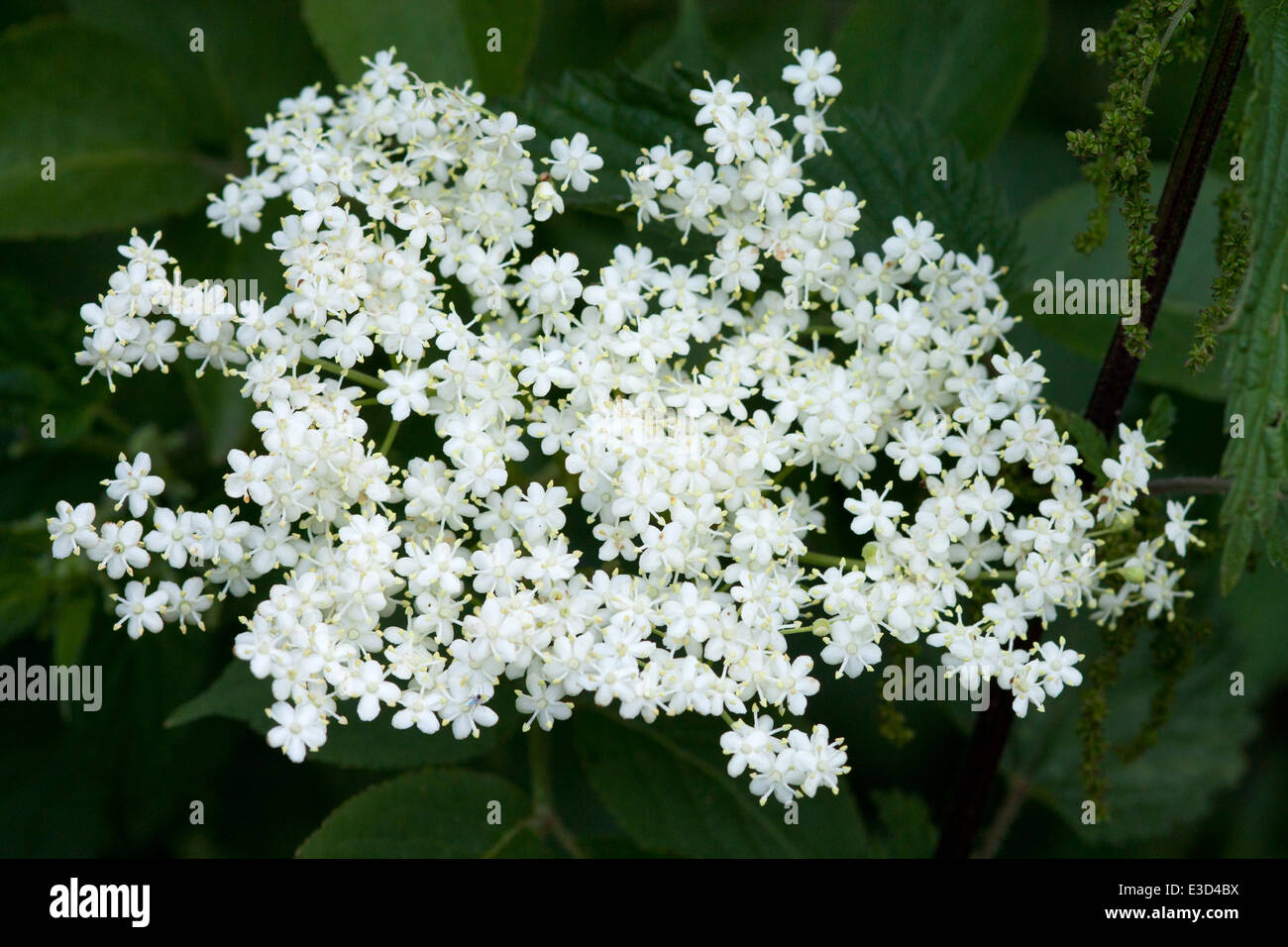 Flowers of the elder tree (nigra sambucus), which will turn into elderberries. - Stock Image