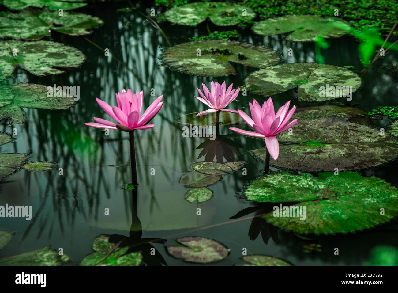 Three Flowers Of Lotus Growing In The Lake Stock Photo 70977342 Alamy