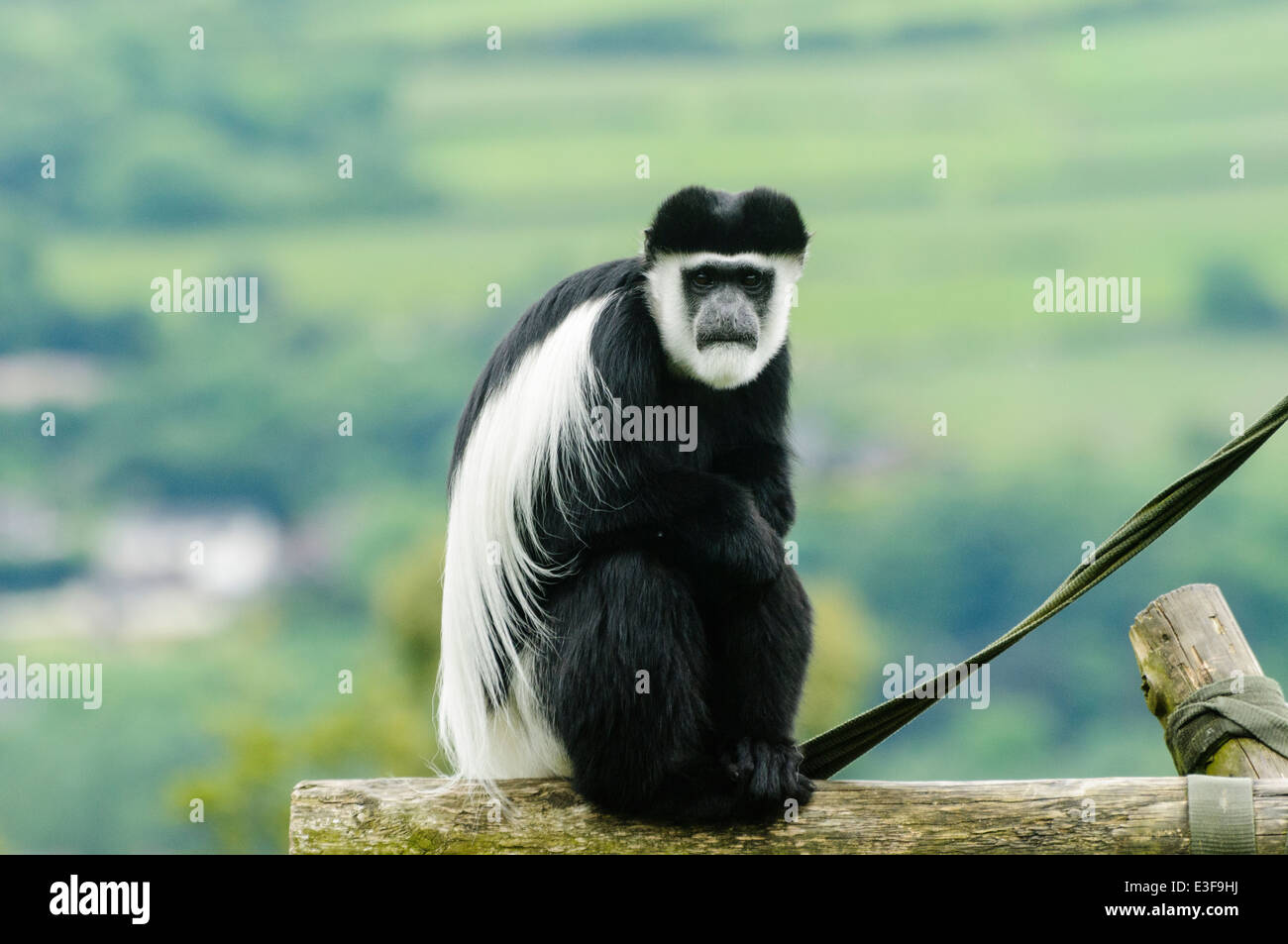 Black and white colobus monkey (Colobus guereza) in a zoo - Stock Image