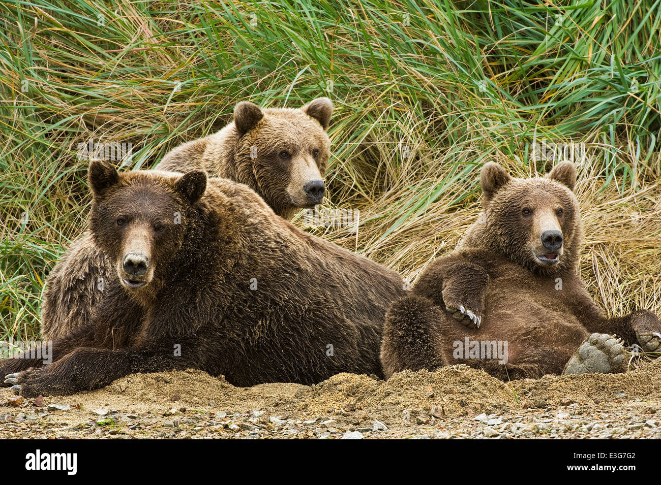A mother coastal brown bear (grizzly bear) relaxes in a sand pit with two yearling cubs. - Stock Image