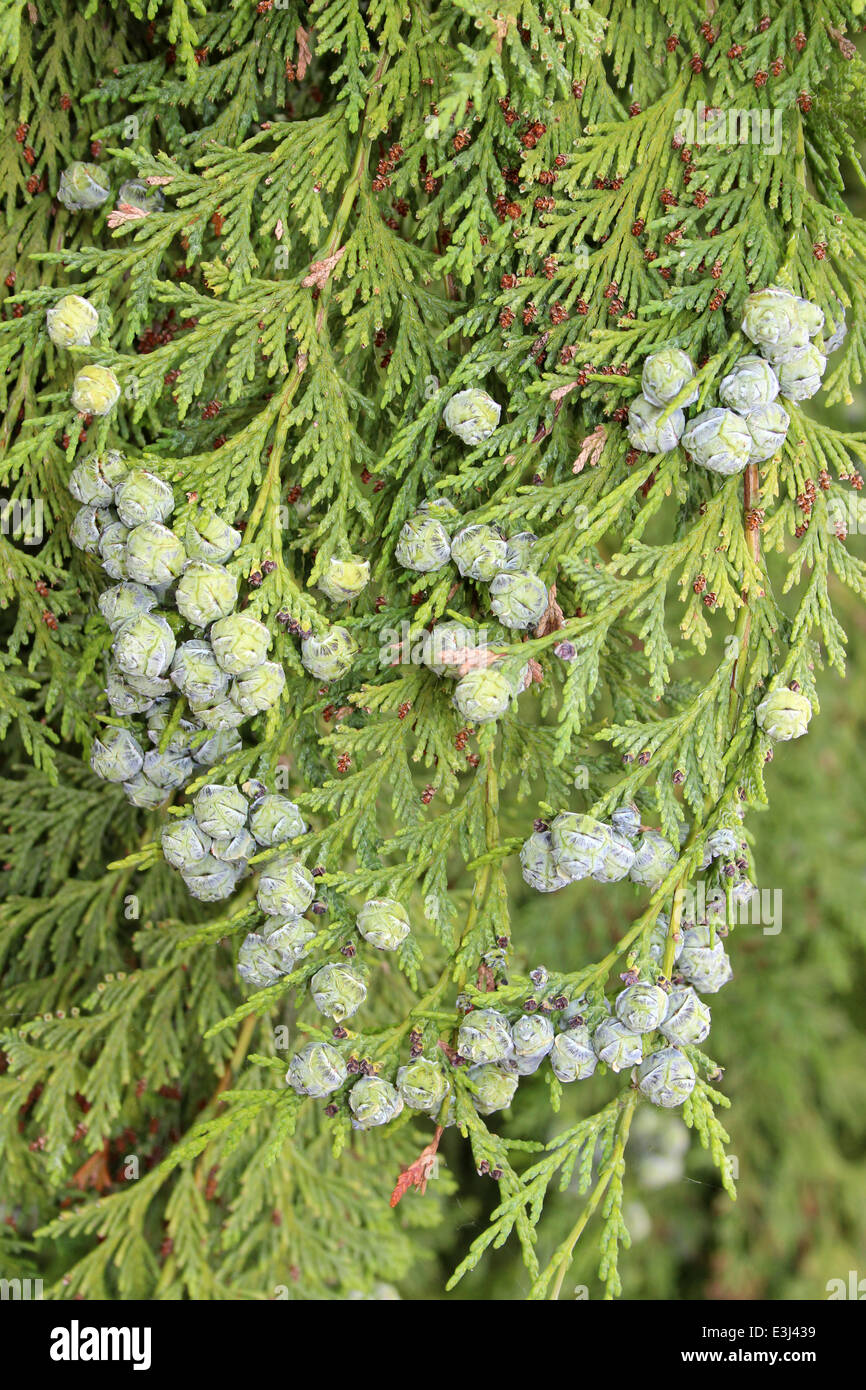 Lawson Cypress Chamaecyparis lawsoniana Spherical Female Cones - Stock Image