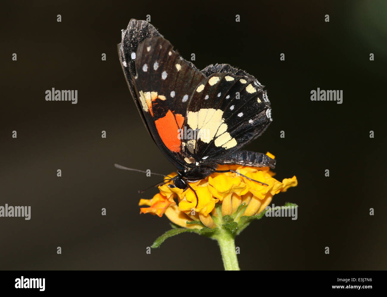 New World tropical Gaudy Checkerspot or Gaudy Patch butterfly (Chlosyne gaudialis) - Stock Image