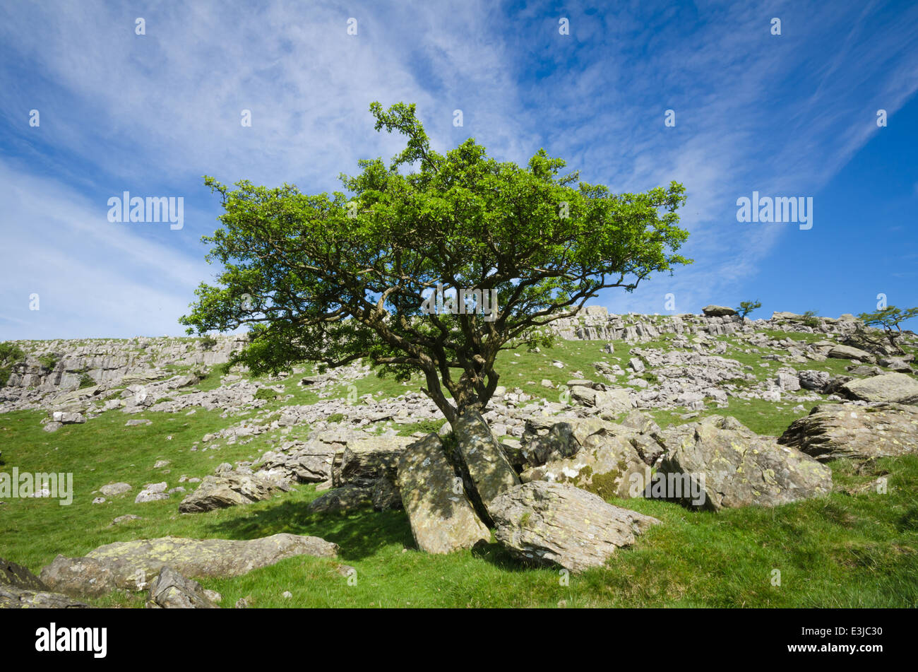 Hawthorn tree on rocks - Stock Image