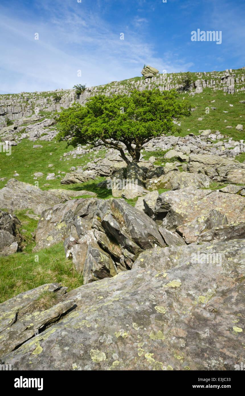 Hawthorn tree on rocks - Stock Image