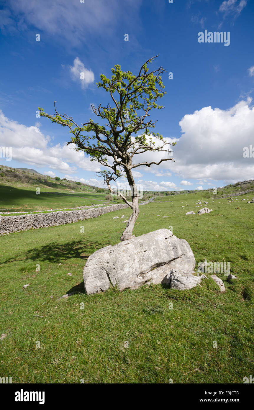 Twisted Hawthorn tree growing on a rock - Stock Image