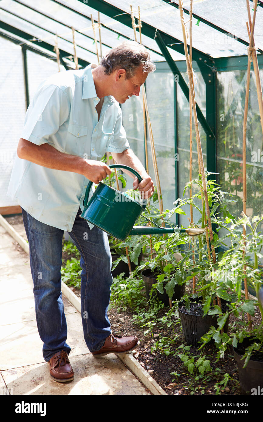 Middle Aged Man Watering Tomato Plants In Greenhouse - Stock Image
