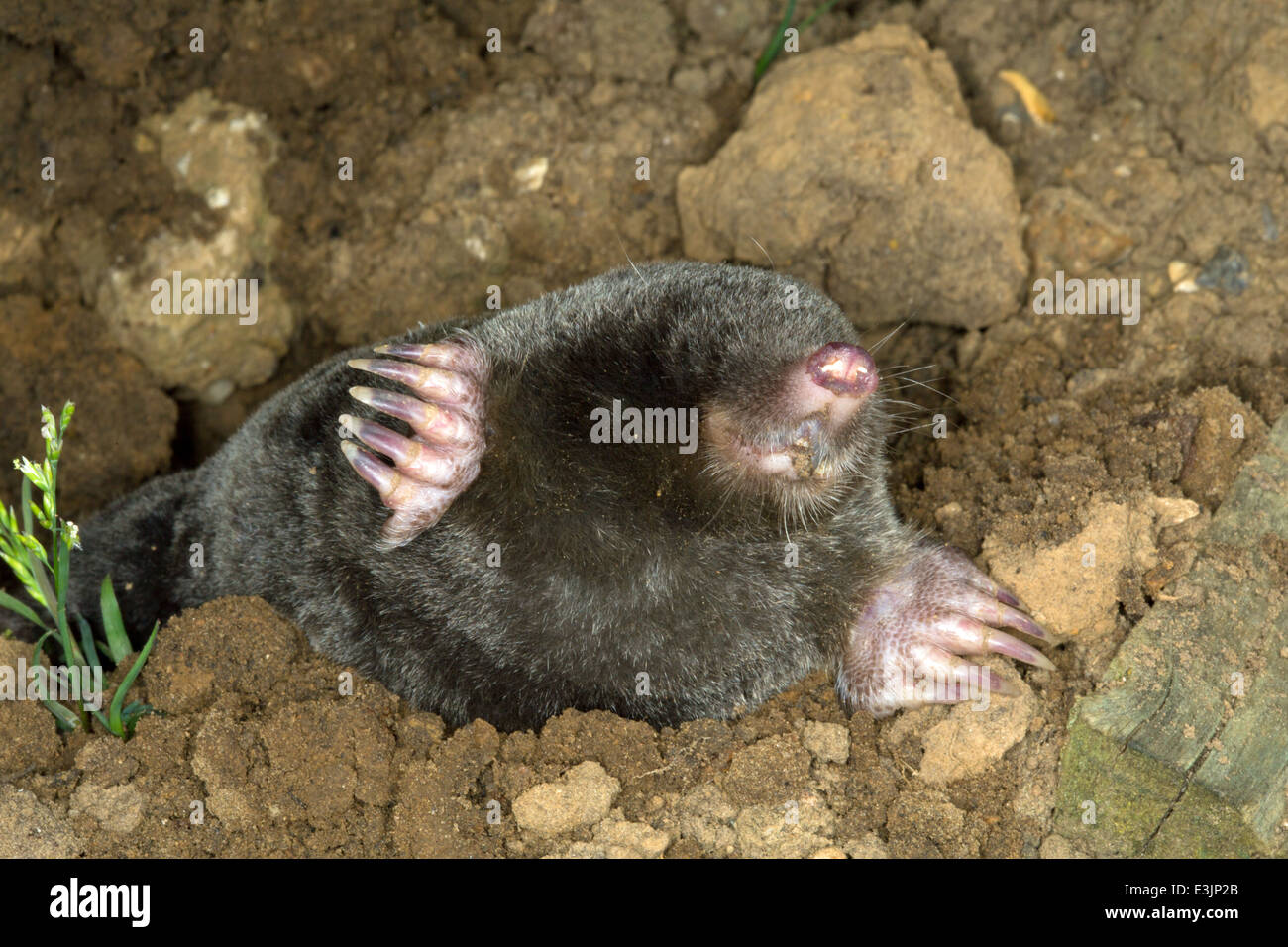 A mole surfaces from the earth - Stock Image