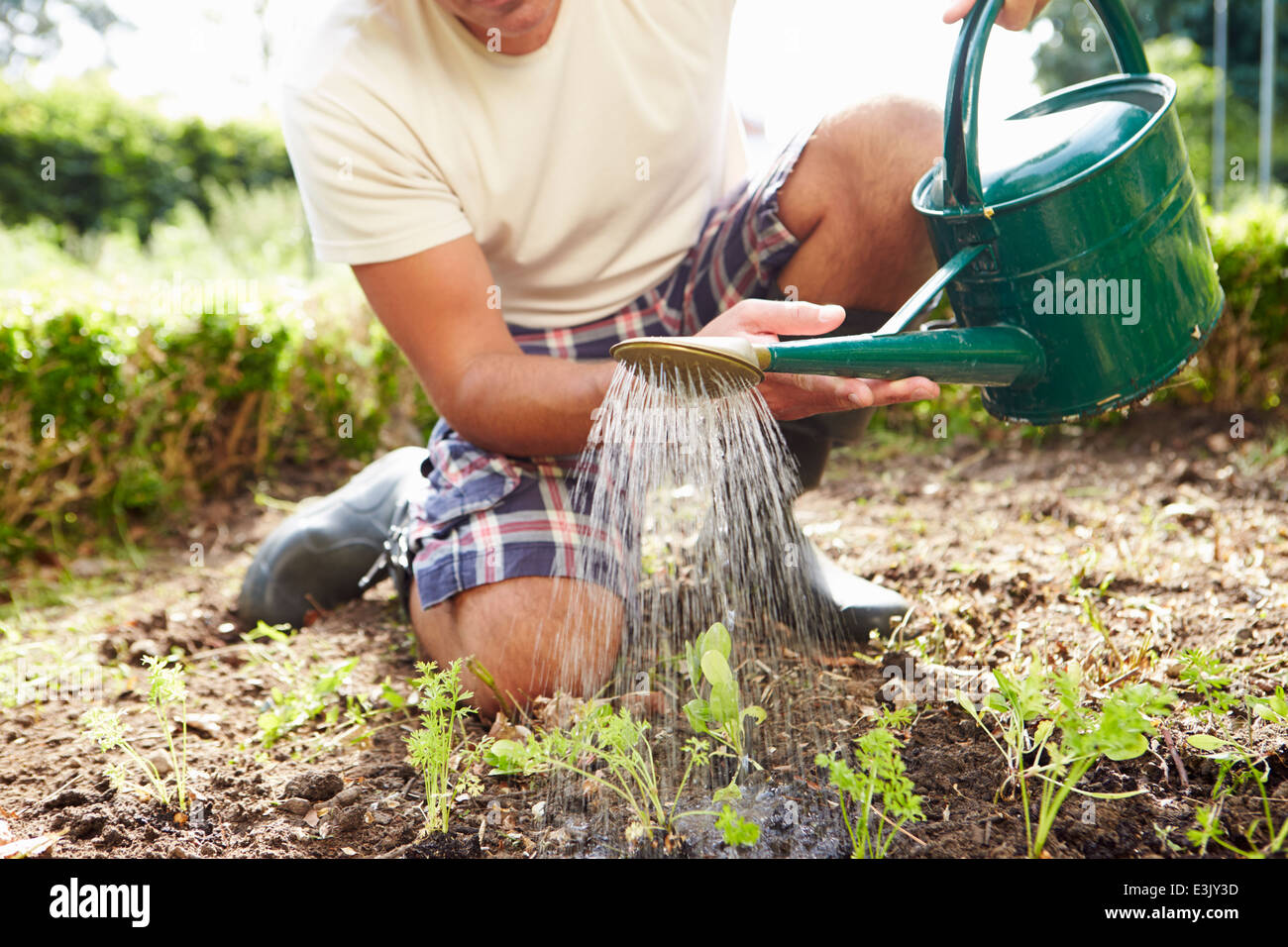 Close Up Of Man Watering Seedlings In Ground On Allotment - Stock Image