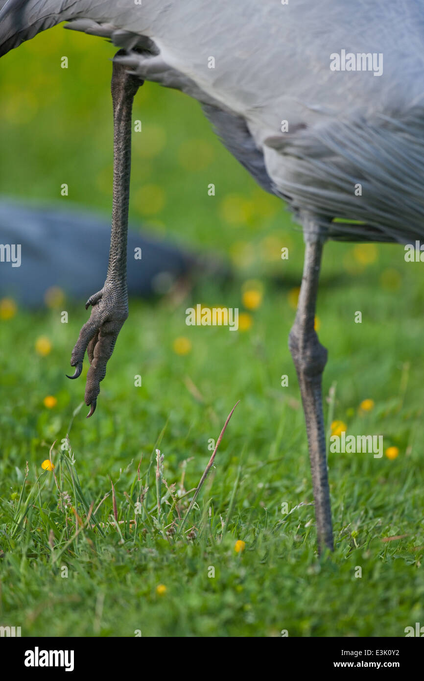 Blue, Paradise or Stanley Crane (Anthropoides paradisea). Adult facing right, standing on one leg. Ankle joint in - Stock Image
