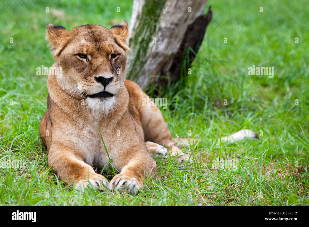 A lonesome African Lion lays in the grass on a hot day - Stock Image