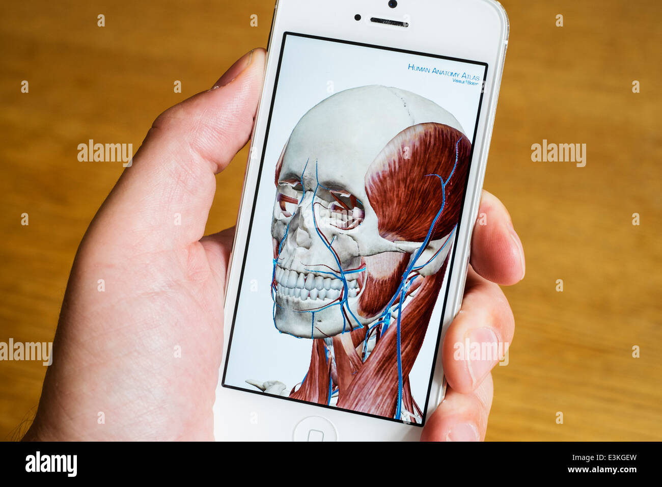 Detail of educational medical 3D human anatomy atlas on an iPhone ...