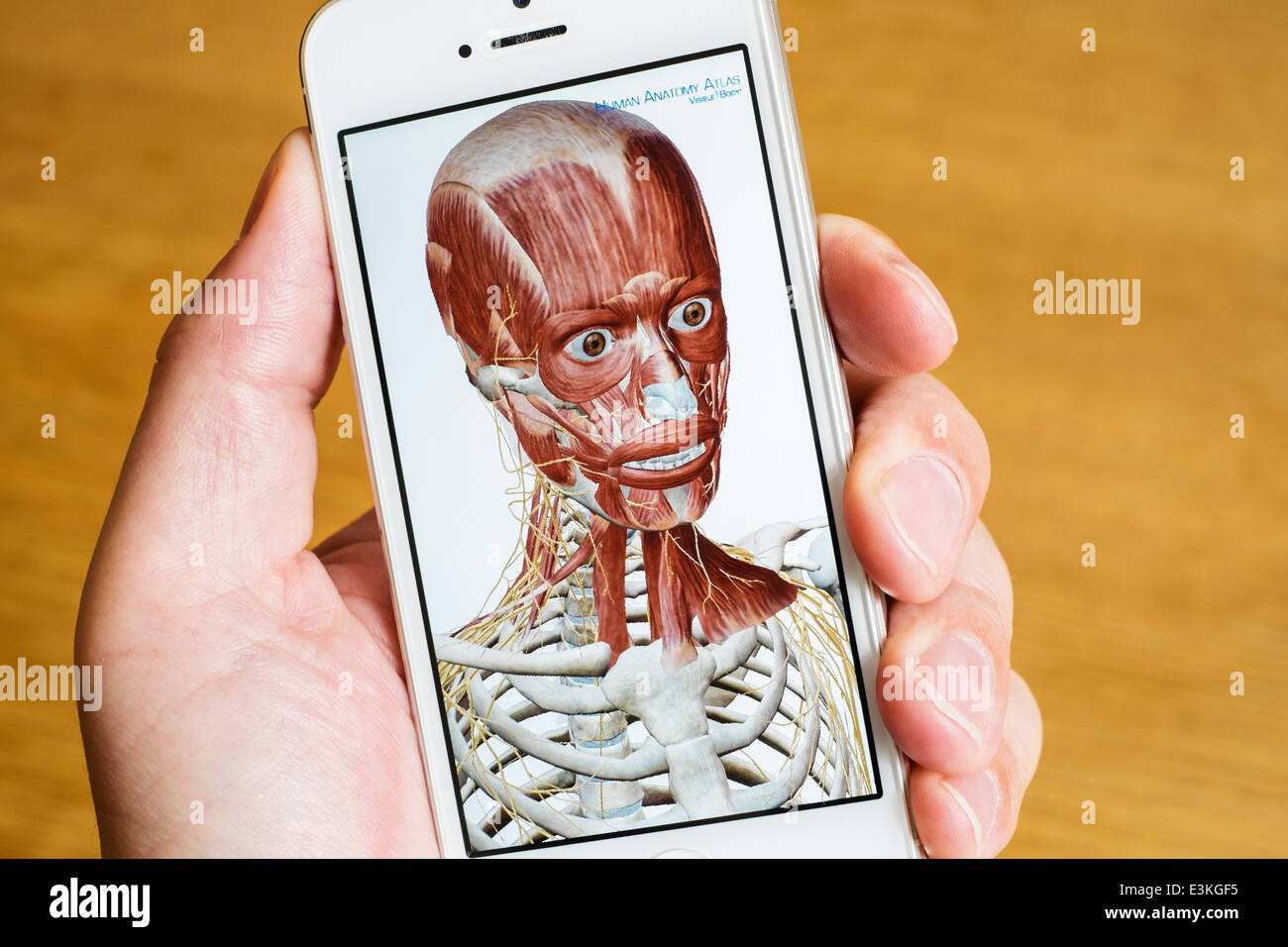 Detail of educational medical 3D human anatomy atlas on an iPhone smart phone - Stock Image