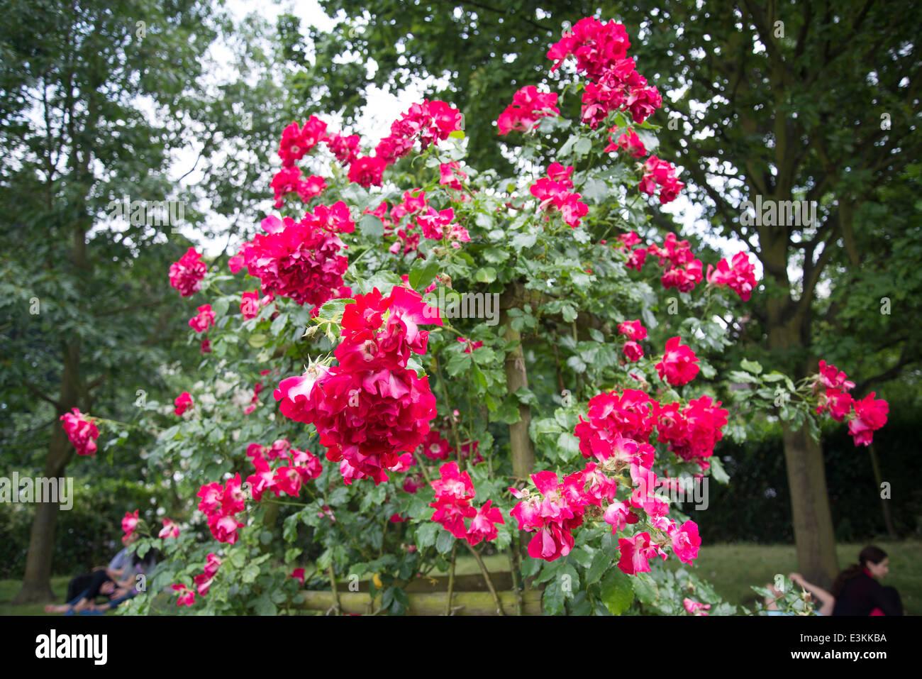 Rose 'Dortmund', climber - Stock Image