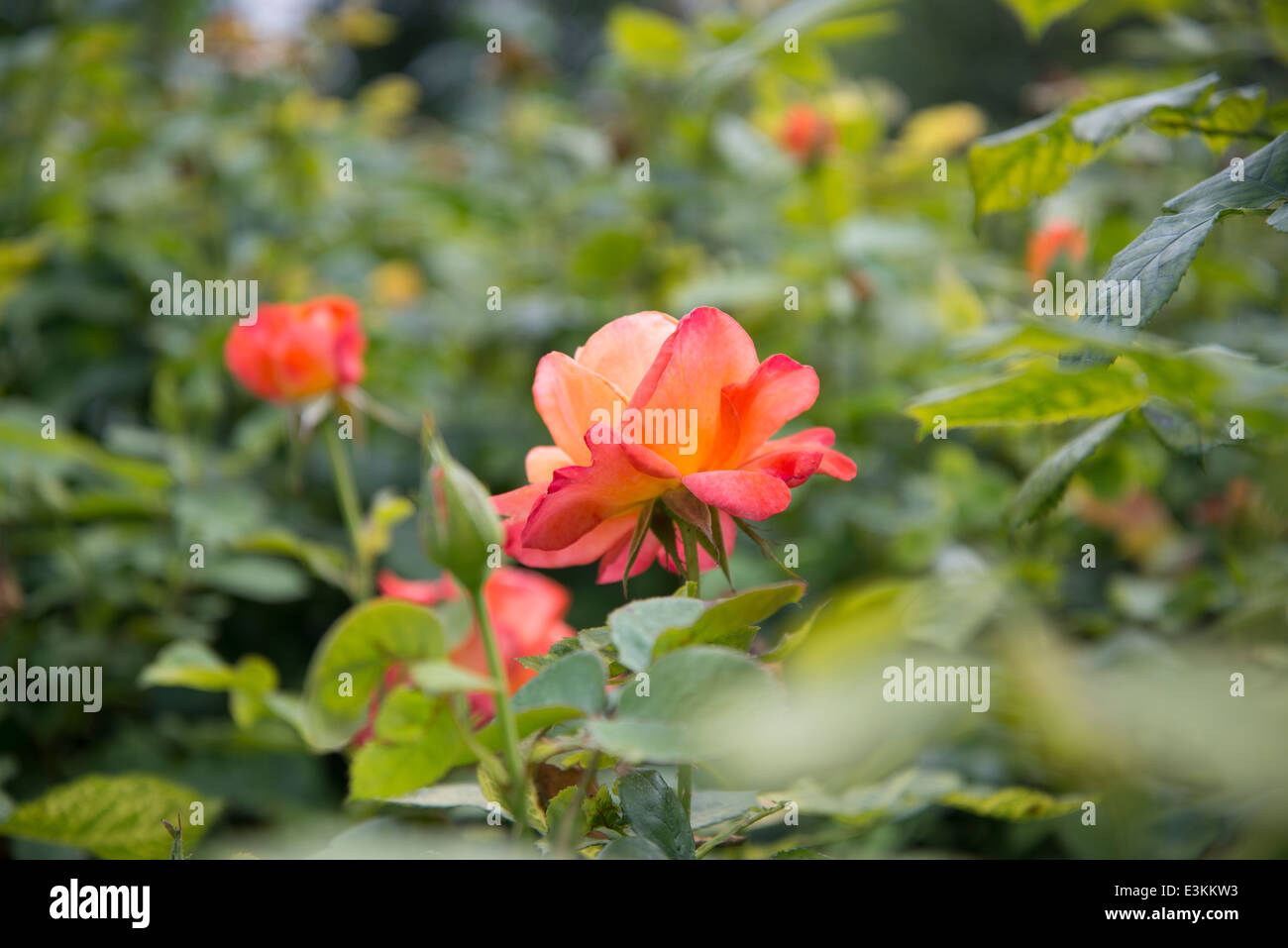 Rose 'Pensioners Voice' - Stock Image