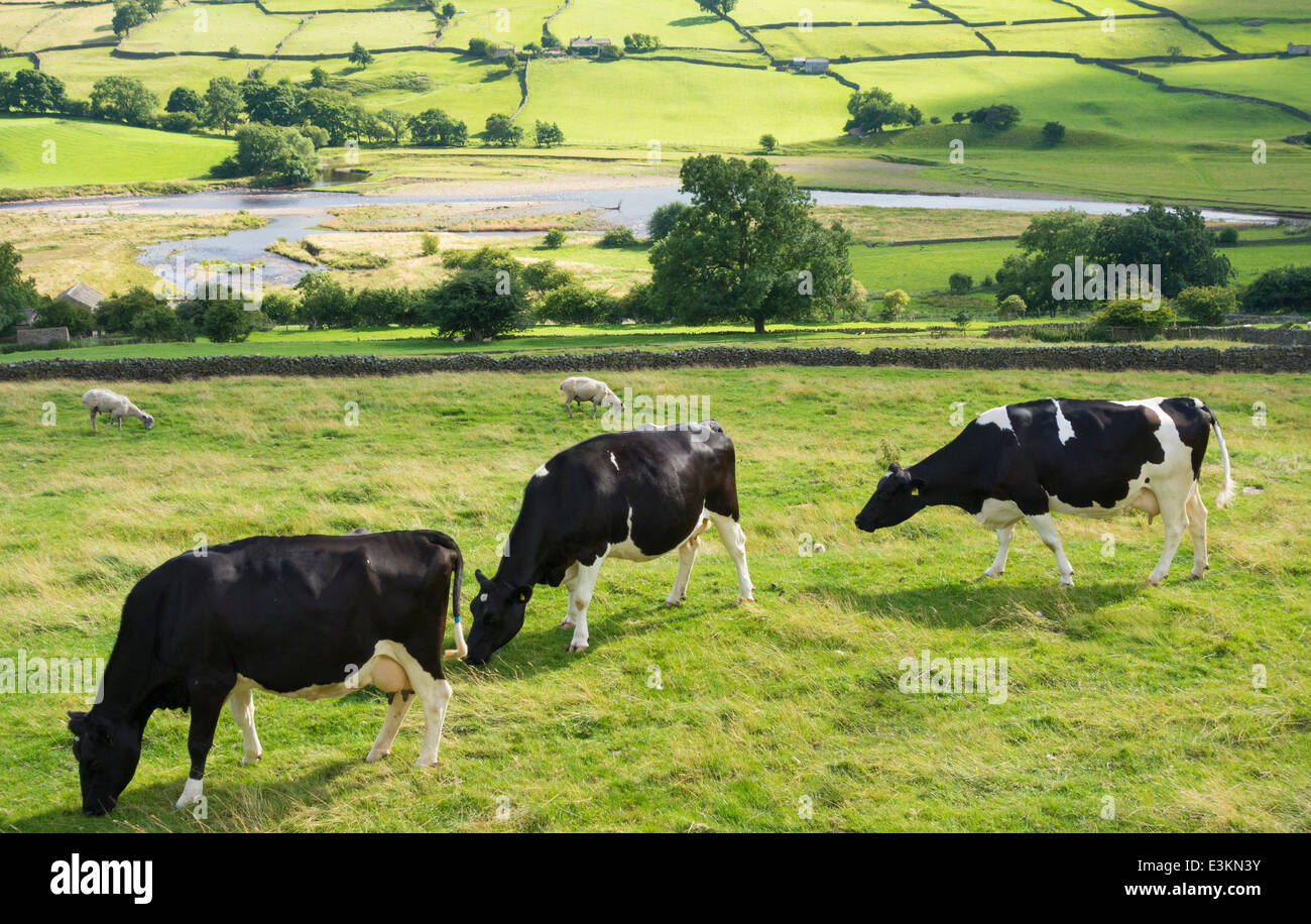 Cows grazing in field near Reeth, Swaledale, Yorkshire Dales National Park. England. UK - Stock Image