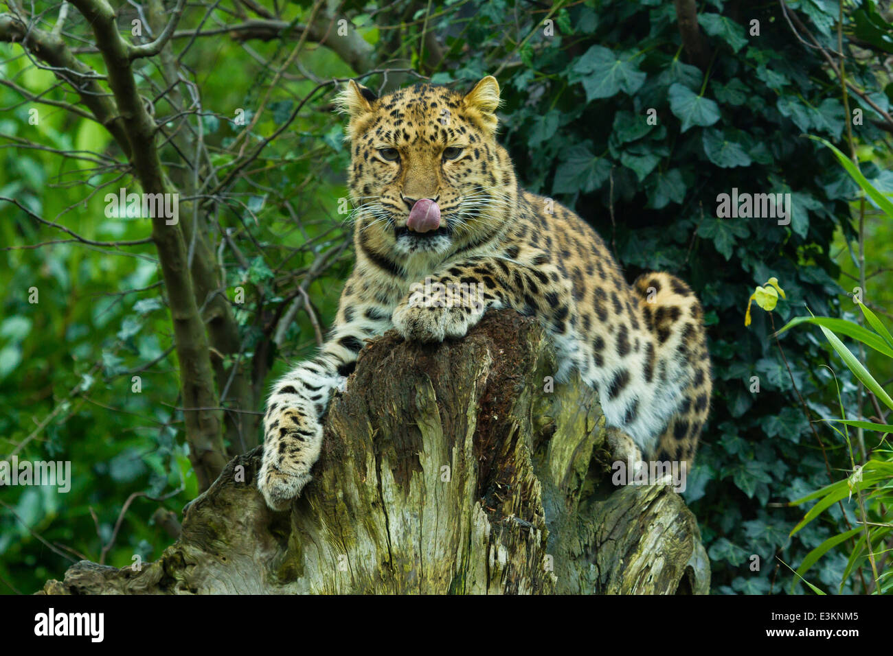Extremely Rare Amur Leopard  (Panthera Pardus Orientalis) On Tree Stump Licking Its Face - Stock Image