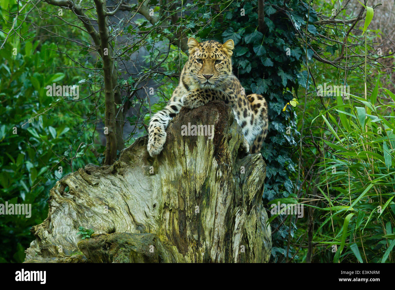 Extremely Rare Amur Leopard  (Panthera Pardus Orientalis) On Tree Stump - Stock Image