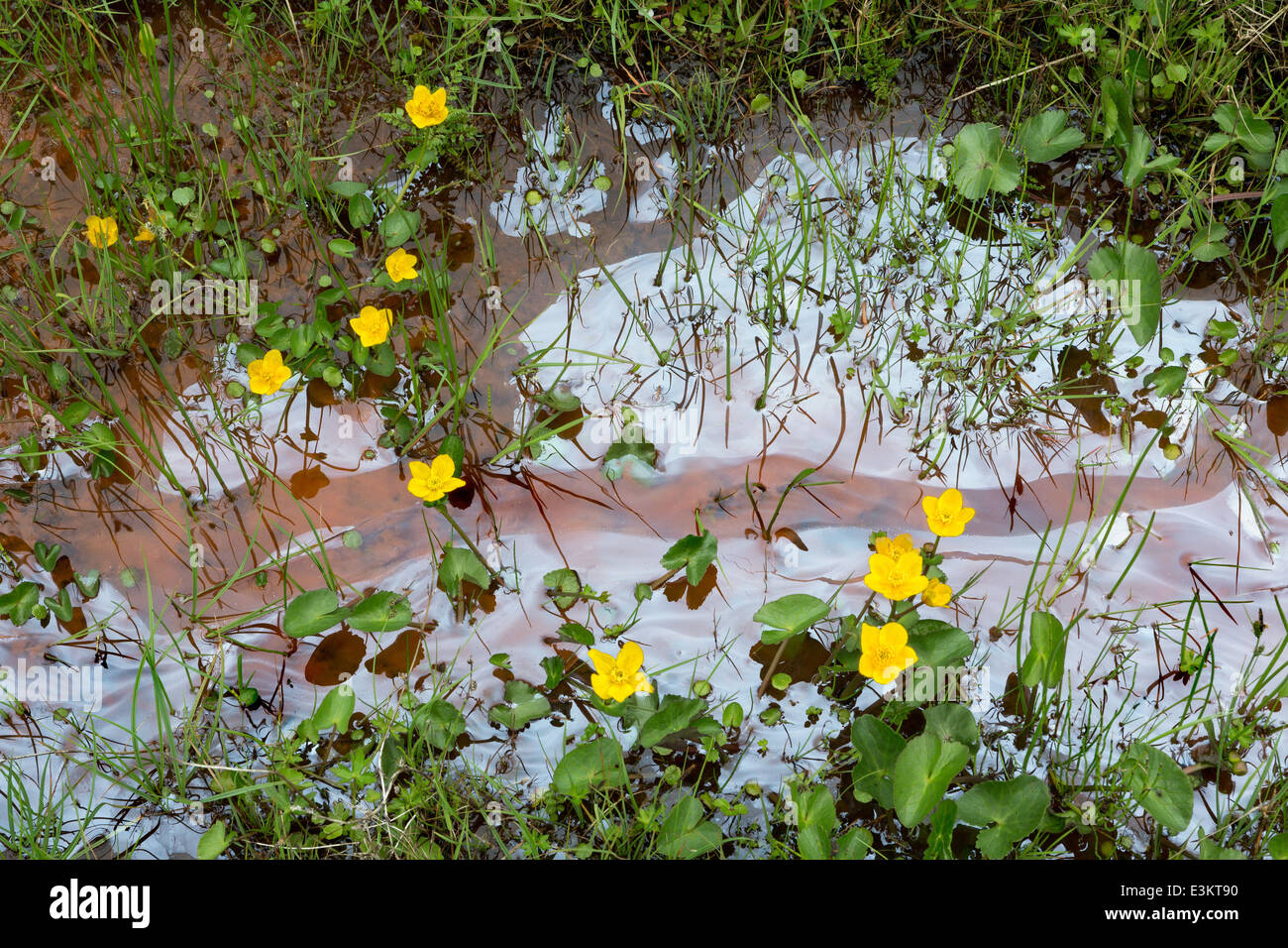 Oil leakage in a little river in Scotland, with yellow wildflowers - Stock Image