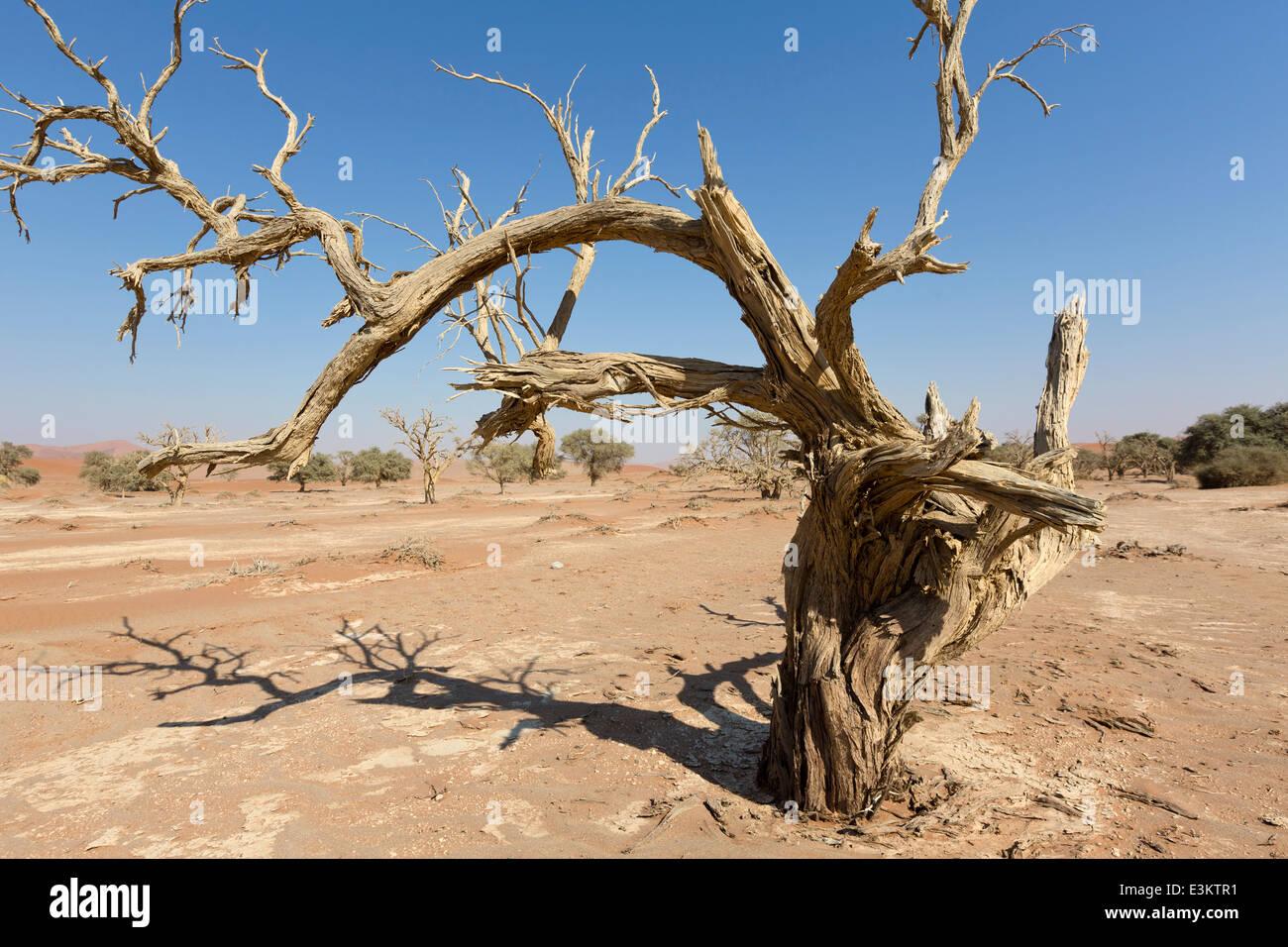 Dead tree around famous dunes in Sossusvlei, Namib-Naukluft National Park of Namibia Stock Photo