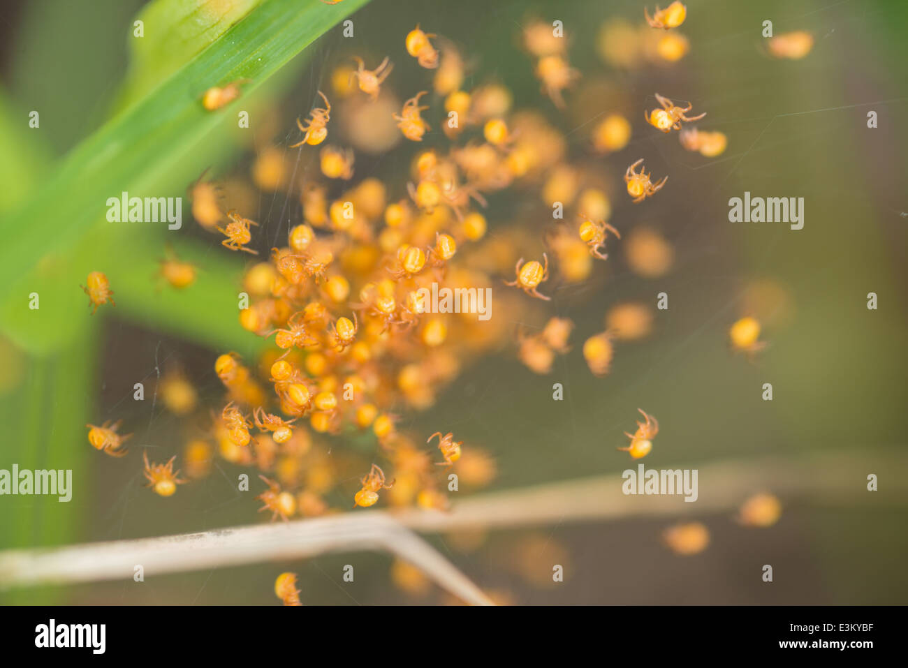 A nest of baby spiders hidden in the grass, Elk Island National Park, Alberta, Canada - Stock Image