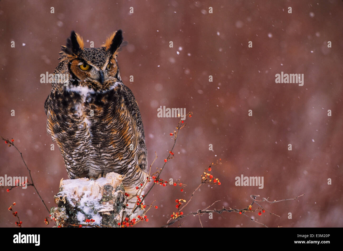 A Great Horned Owl (Bubo virginianus) perches during a snowstorm, with bittersweet berries. - Stock Image