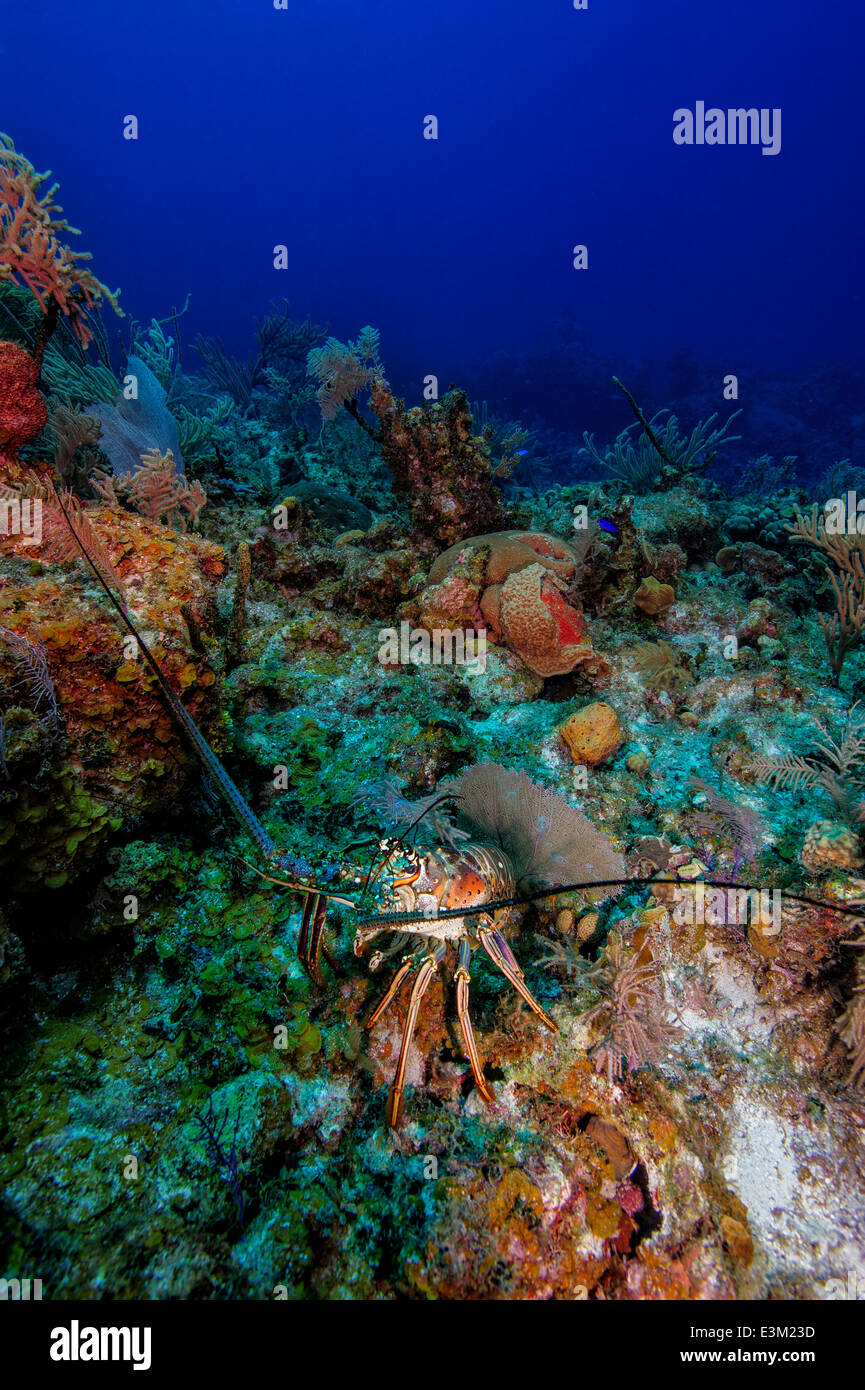 A Spiny Lobster at Bloody Bay Wall, Little Cayman Island, Caribbean Sea - Stock Image