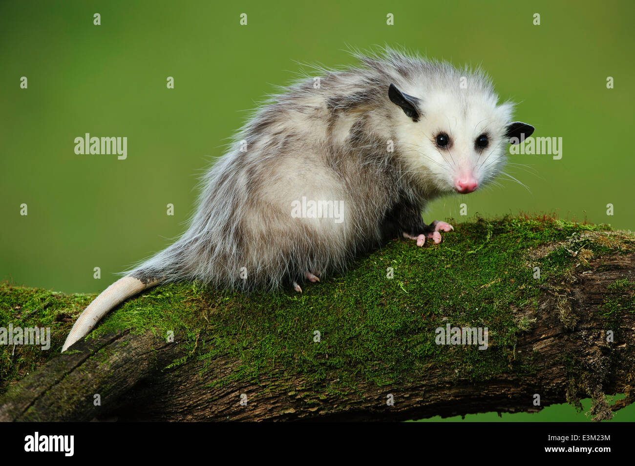 An 8 month old young opossum at Howell Nature Center, Michigan, United States - Stock Image