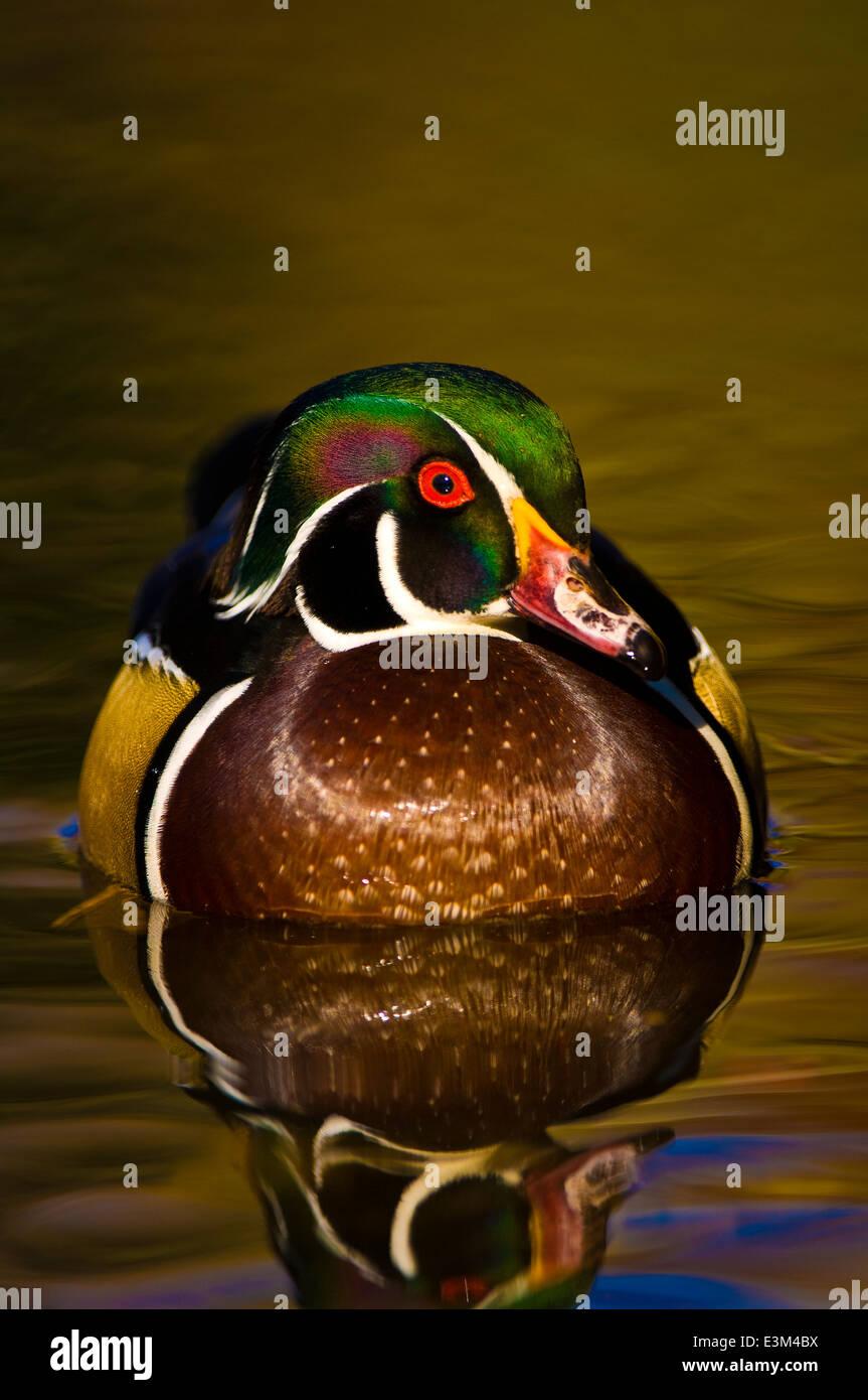 Wood duck (Aix sponsa) - Stock Image