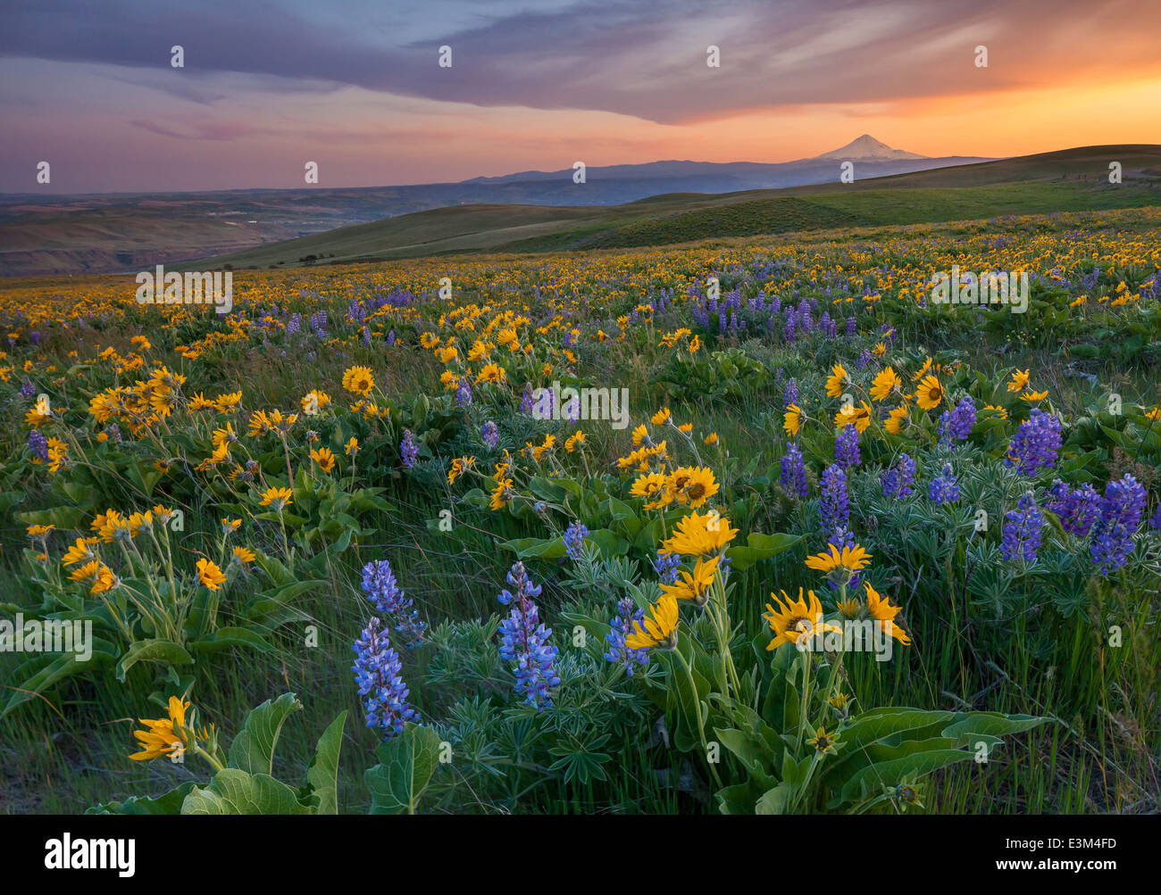 Columbia Hills State Park, Washington: Evening light on Lupine and balsam root  and Mount Hood above the Columbia - Stock Image