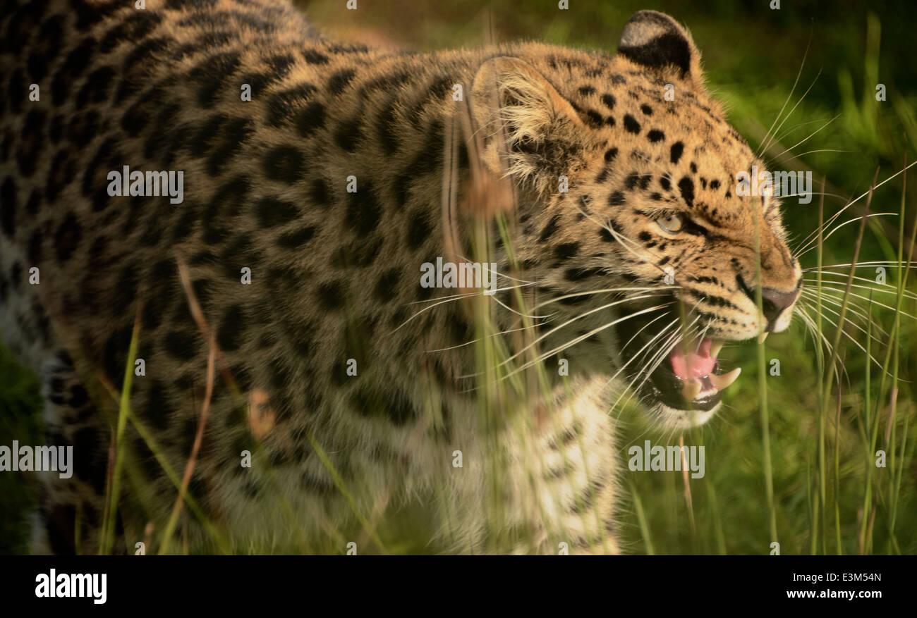jaguar growling - Stock Image