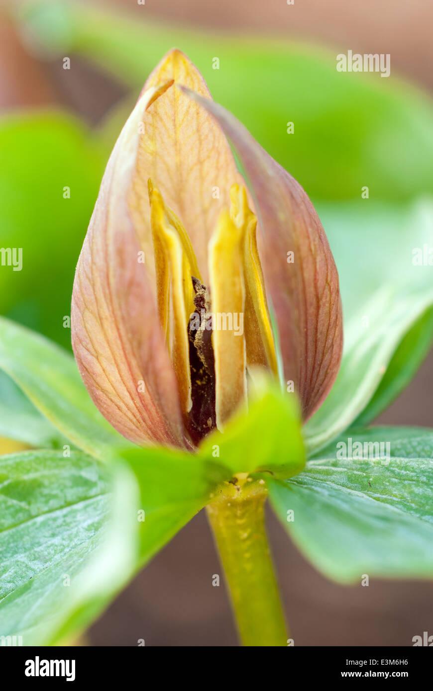 Trillium simile, Wood Lilly . Perennial, May. Orange flower. - Stock Image