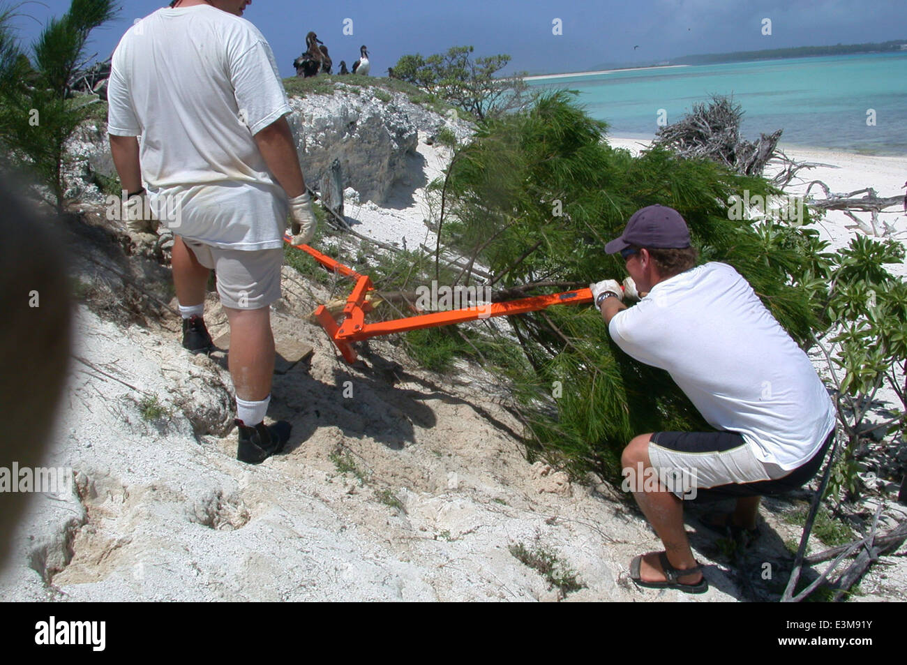 Volunteers removing nonnative ironwoods from Eastern Island - Stock Image