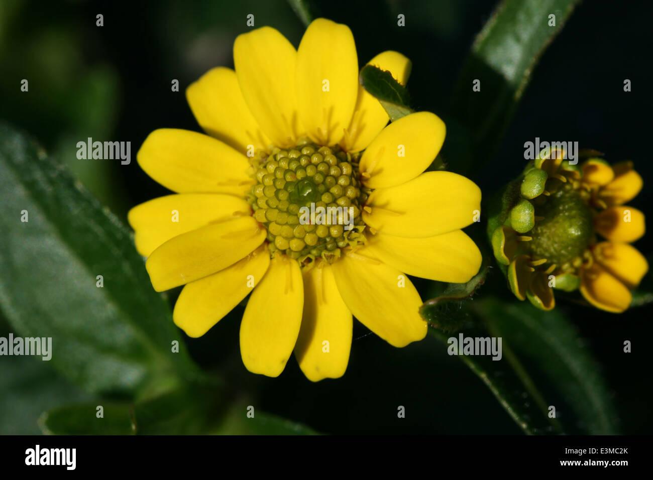 Gelbe Blüte Stock Photo