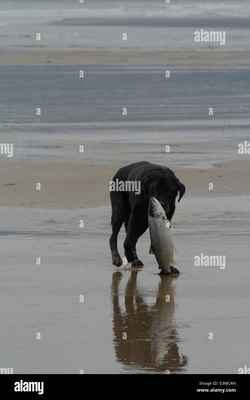 Elderly labrador dog finds a large sea bass on the beach at Proth Neigwl and tries to retireve it Stock Photo