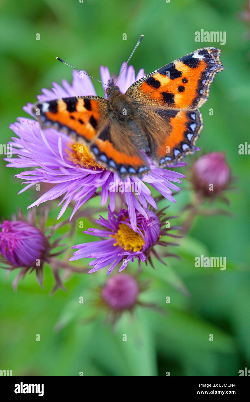 Small Tortoiseshell Butterfly on Aster novae-angliae 'Mrs S. T. Wright'. Butterfly on purple flowers. - Stock Image