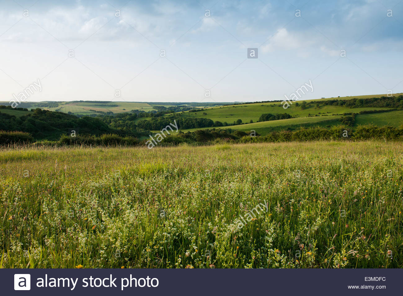 Hedge Bedstraw Gallium mollugo Meadowdown East Sussex summer white yellow native wild meadow field south downs view - Stock Image