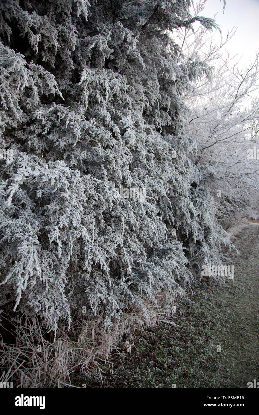 Frost covered tree on a wintery December's day - Stock Image