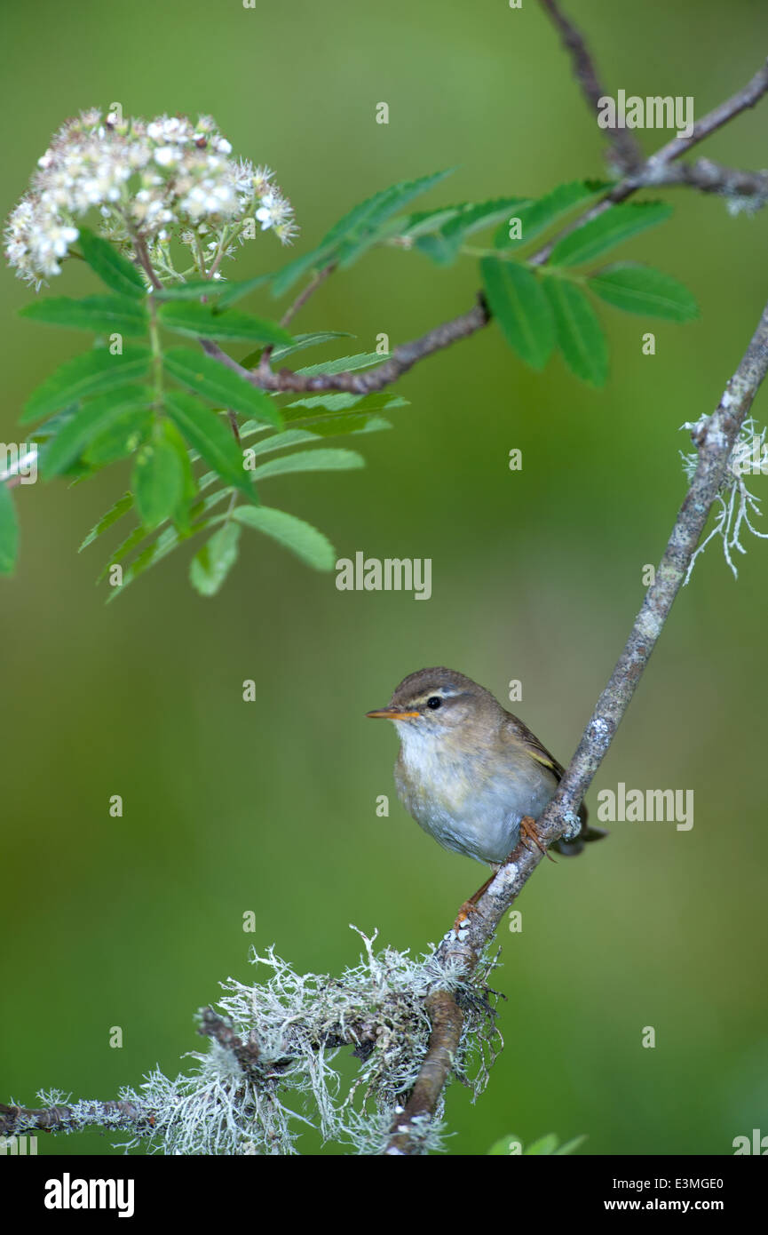 Adult Willow Warbler perched on a slender rowan twig keeping an eye on its nearby nest.  SCO 9091 - Stock Image