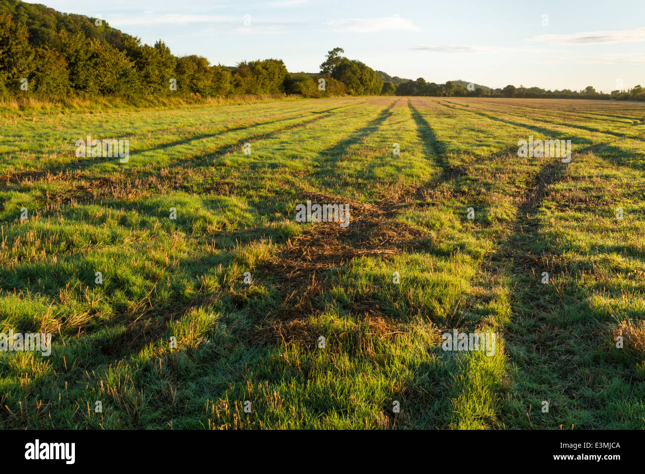 Tyre tracks. Field with tyre marks from the use of agricultural machinery on farmland, Nottinghamshire, England, - Stock Image