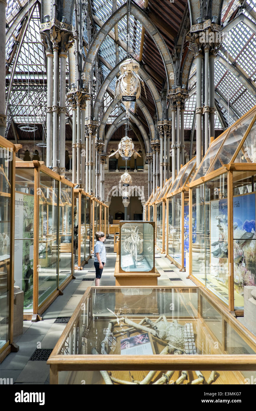 A small boy, stood below a row of Whale Skeletons, studying an exhibit at the Natural History Museum in Oxford, - Stock Image