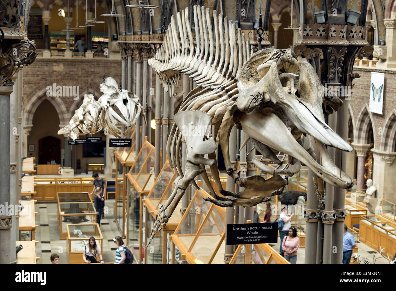 Whale Skeletons exhibited in a row hanging  inside the natural history museum in Oxford, Oxfordshire, UK - Stock Image