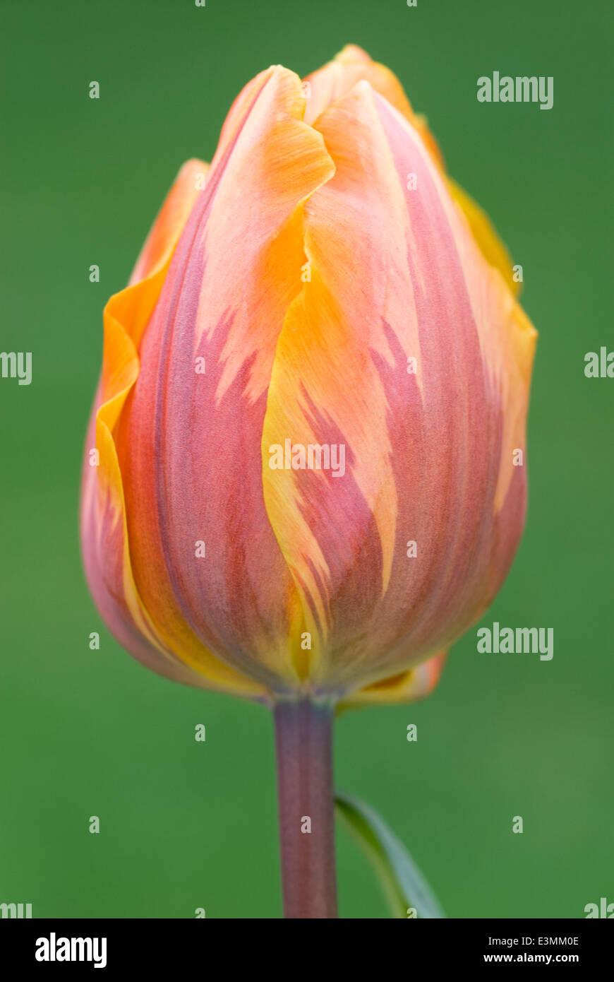 Tulipa 'Prinses Irene' syn. T. 'Princess Irene', Triumph Group, Tulip. Bulb, April. Orange flower. - Stock Image