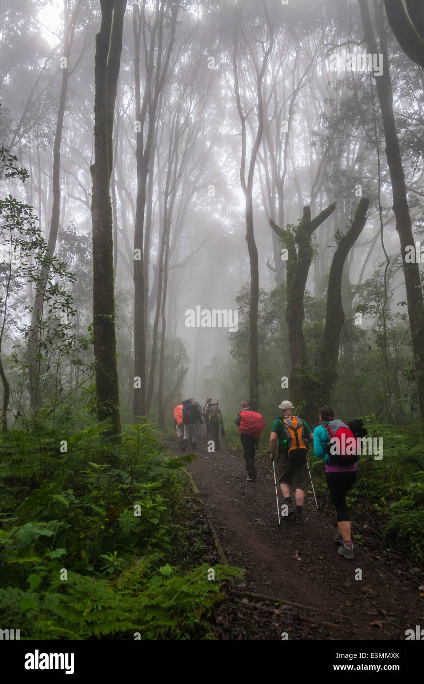 Trekkers on Machame route of Kilimanjaro passing through the rain forest - Stock Image