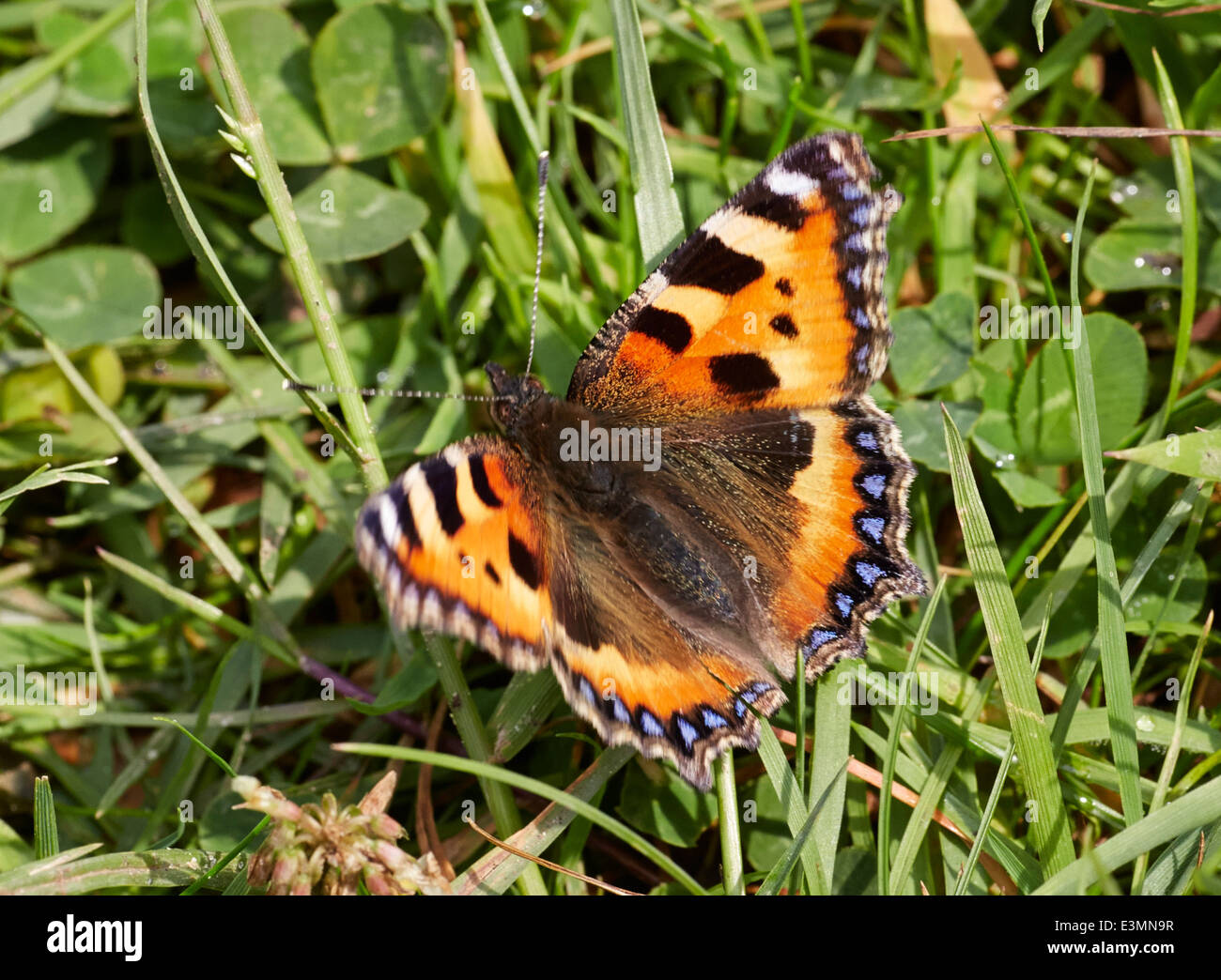Small Tortoiseshell butterfly. Mitcham Common, Surrey, England. - Stock Image